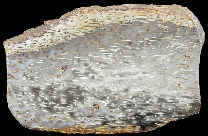 "8.8"" Petrified Palm Wood (Palmoxylon) Slab - Burma"