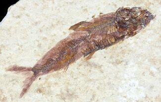 "1.7"" Knightia Fossil Fish - Wyoming For Sale, #60812"