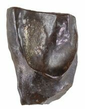 "Buy .65"" Triceratops Shed Tooth - Montana - #60631"