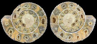 "Buy 3.5"" Cut & Polished Ammonite (Perisphinctes) Fossil  - #53866"