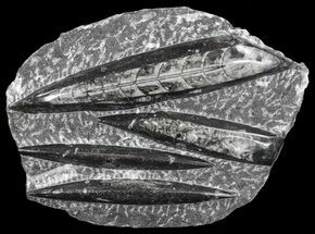 "Buy Polished Orthoceras (Cephalopod) Plate - 7.3"" - #61537"
