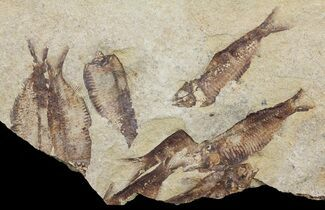 "14"" Fossil Fish (Gosiutichthys) Mortality Plate - Lake Gosiute For Sale, #61568"