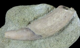 "1.3"" Fossil Sea Lion (Allodesmus) Tooth - Bakersfield, CA For Sale, #62165"