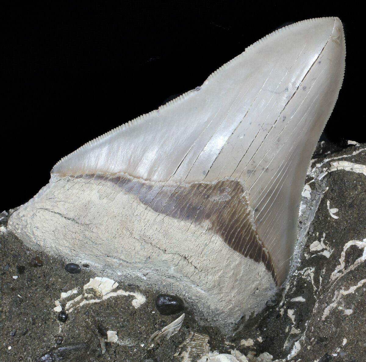 "4.53"" Aurora Megalodon Tooth Still Embedded In Rock - Lee Creek"