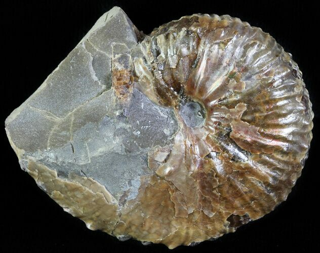 "1.8"" Hoploscaphites Ammonite - South Dakota"