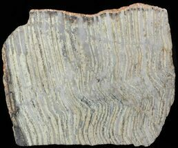 "5.1"" Strelley Pool Stromatolite - 3.43 Billion Years Old For Sale, #62753"