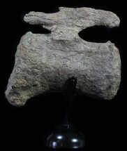 "6.5"" Camarasaurus Caudal Vertebrae With Metal Stand - Colorado For Sale, #62732"