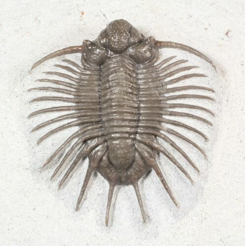 "1.05"" Unidentified Lichid Trilobite From Jorf - Belenopyge Like"