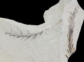 Buy Metasequoia (Dawn Redwood) Fossil - Montana  - #62332
