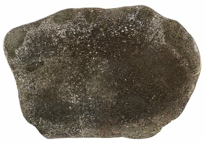 "6"" Pyritized, Polished Iguanodon Bone - Isle Of Wight"