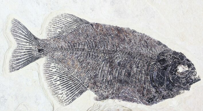"Bargain, 10"" Phareodus Fossil Fish - Reduced Price"