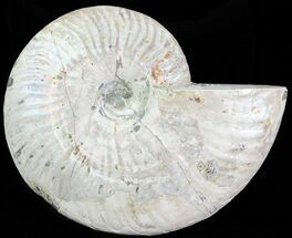 "6.2"" Silver Iridescent Ammonite - Madagascar For Sale, #61508"