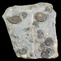 "3.5"" Ammonite Fossil Slab - ""Marston Magna Marble"" For Sale, #63515"