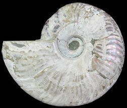"4.8"" Silver Iridescent Ammonite - Madagascar For Sale, #61499"
