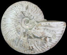 Cleoniceras - Fossils For Sale - #61503