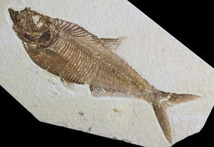 "Buy Detailed, 6"" Diplomystus Fossil Fish - Wyoming - #63985"