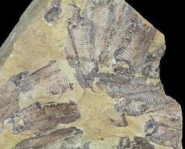 "10.1"" Fossil Fish (Gosiutichthys) Mortality Plate - Lake Gosiute For Sale, #63965"