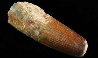"2.85"" Spinosaurus Tooth - Feeding Worn Tip For Sale, #64427"