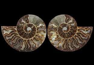"6.3"" Cut & Polished Ammonite Pair - Agatized For Sale, #64931"