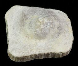 Buy Cretaceous Fossil Pearl - Smoky Hill Chalk, Kansas - #64153