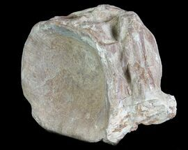 "3.1"" Xiphactinus (Cretaceous Fish) Vertebra - Kansas For Sale, #64163"
