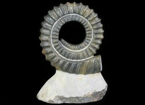 "4.7"" Devonian Ammonite (Anetoceras) - Morocco For Sale, #64457"