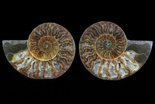 "Buy 4.7"" Cut & Polished Ammonite Pair - Agatized - #64966"