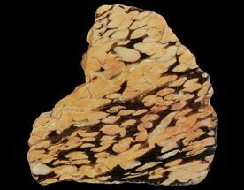"4.1"" Slab of Fossilized ""Peanut Wood"" - Australia For Sale, #65450"