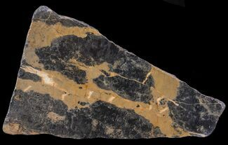 Pilbaria perplexa - Fossils For Sale - #65502