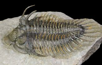 "2.45"" Spiny Comura Trilobite - Excellent Preparation For Sale, #65822"