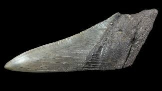 "Buy 5.05"" Fossil Megalodon Tooth ""Paper Weight"" - #65800"
