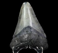 "3.47"" Fossil Megalodon Tooth - Georgia For Sale, #65789"