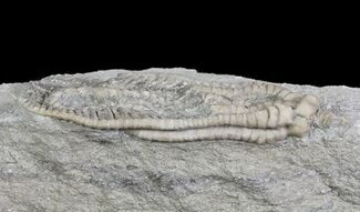 "Detailed, 2.8"" Decadocrinus Crinoid - Crawfordsville, Indiana For Sale, #65993"