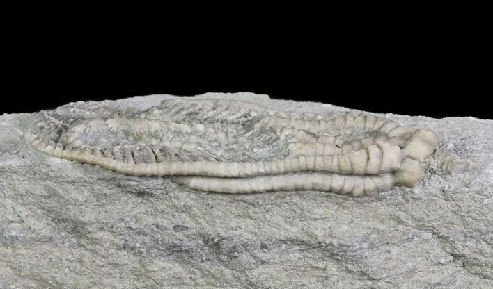 "Detailed, 2.8"" Decadocrinus Crinoid - Crawfordsville, Indiana"