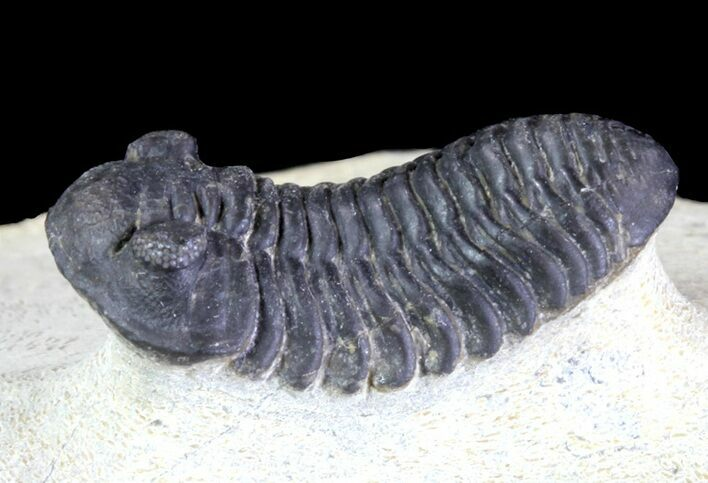 "1.05"" Acastoides Trilobite With Nice Eyes"