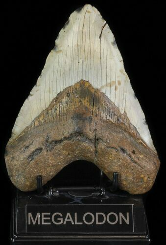 "5.60"" Megalodon Tooth (Repaired) - North Carolina"