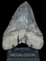 "Serrated, 6.24"" Fossil Megalodon Tooth - 50+ Foot Shark! For Sale, #66185"