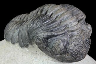 "3.1"" Pedinopariops Trilobite - Great Eye Facet Detail For Sale, #66341"