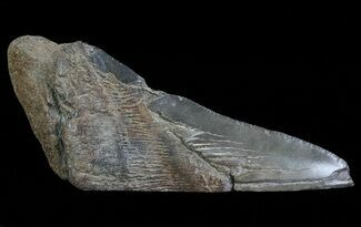 "5.13"" Fossil Megalodon Tooth ""Paper Weight"" For Sale, #66215"