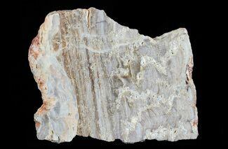 Eucapsiphora leakensis - Fossils For Sale - #65520