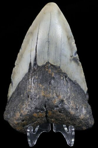 "Bargain, 3.96"" Megalodon Tooth - North Carolina"