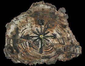 Araucaria - Fossils For Sale - #66831