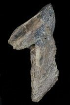 "1.73"" Rooted Triceratops Tooth - Montana For Sale, #66899"