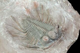 "Huge, 1.85"" Cyphaspides Trilobite - Jorf, Morocco For Sale, #66908"