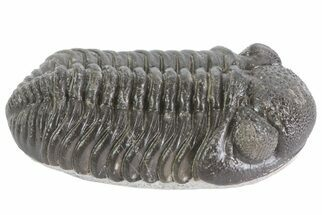 "Buy 2.1"" Pedinopariops Trilobite - Surrounding Rock Removed - #67042"