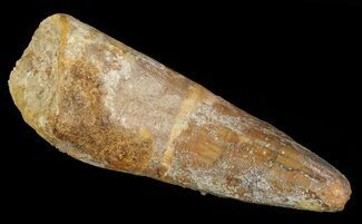 "Bargain, 1.9"" Spinosaurus Tooth - Real Dinosaur Tooth For Sale, #66932"