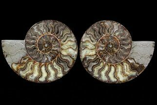 Cleoniceras - Fossils For Sale - #67902