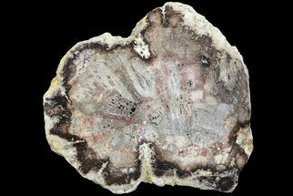 "6.8"" Polished Petrified Wood (Oak) Slab - Oregon For Sale, #68042"