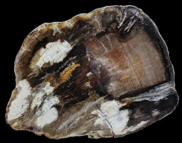 "6.8"" Polished Petrified Wood (Oak) Slab - Oregon"