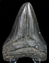 "3.52"" Fossil Megalodon Tooth - Georgia For Sale, #68072"